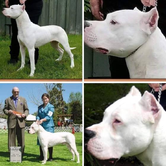 Dogo, Dogo Argentino breeder, Dogo puppies for sale,