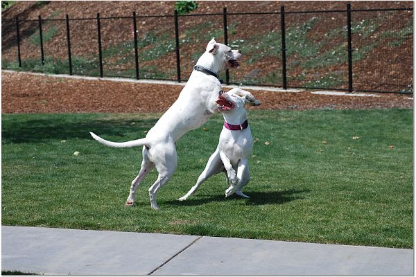 Dogo Argentino picture.jpg