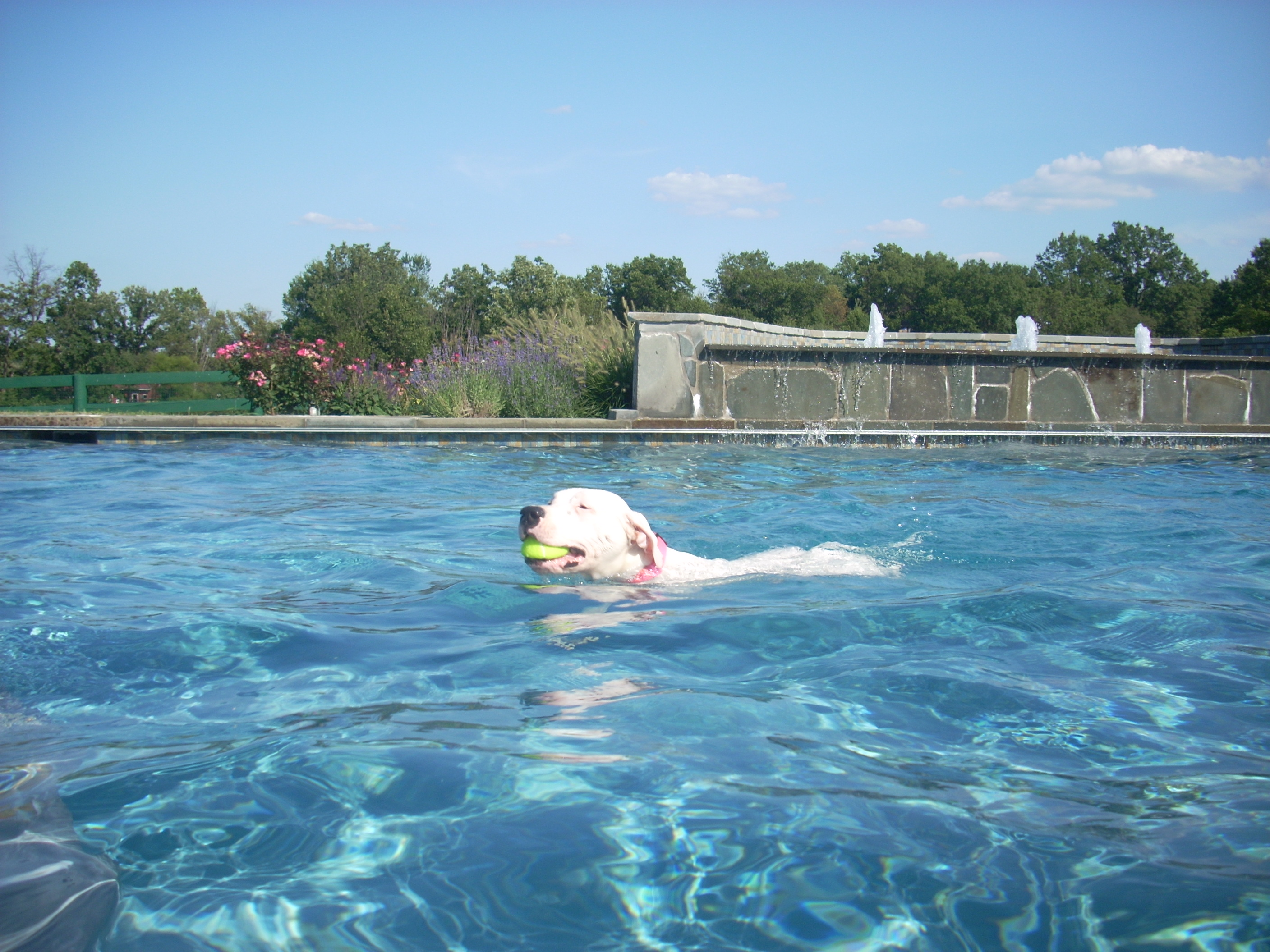 Dogo Argentino swimming.jpg
