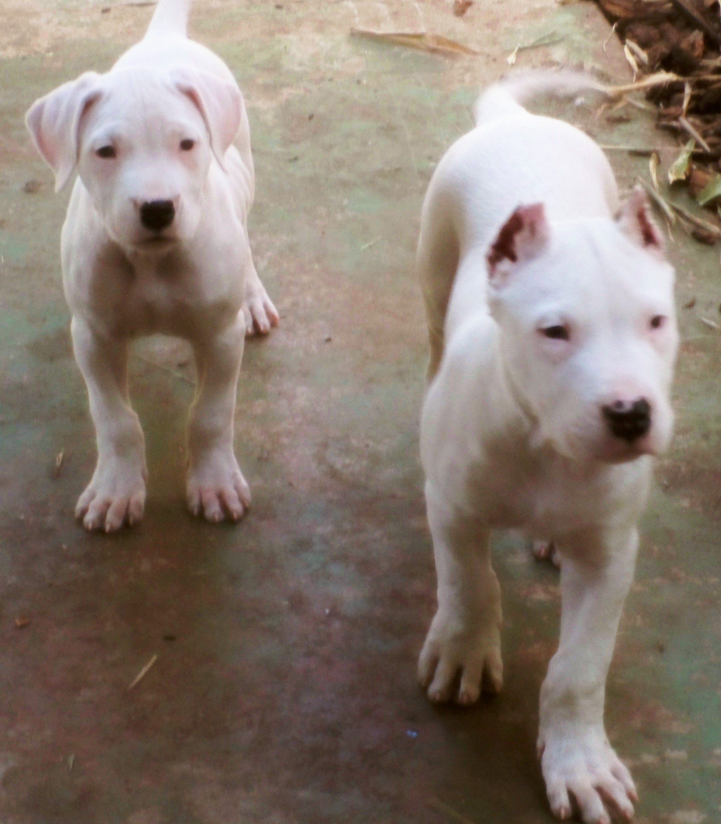 Dogo Argentinos for sale.jpg