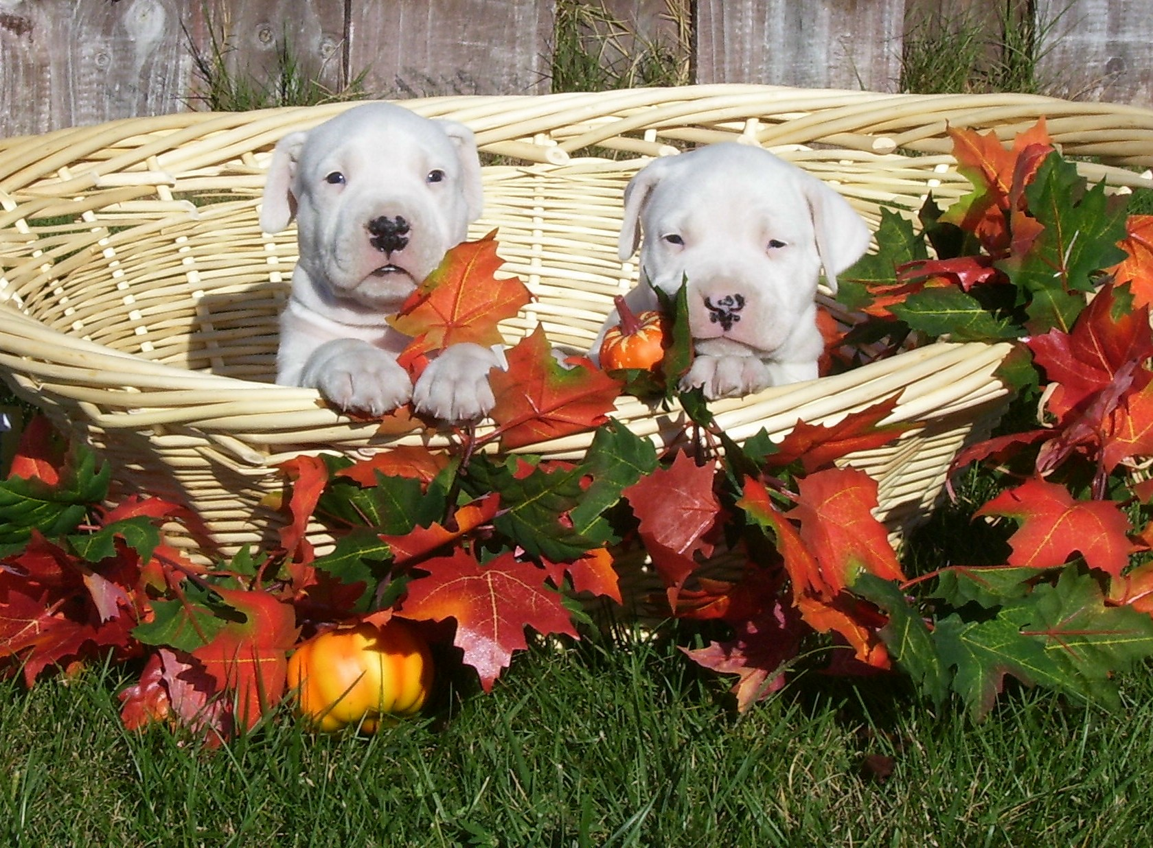 Dogo dogo argentino breeder dogo puppies for sale debonair dogosg nvjuhfo Choice Image